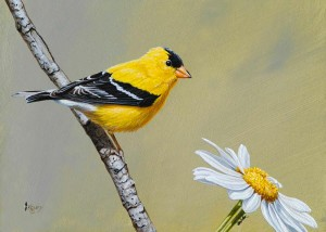 AmGoldfinch-M