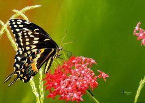 BlackSwallowtail-M