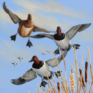Coming-at-You-Canvasbacks-M