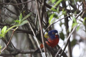 Painted Buntings Galore!